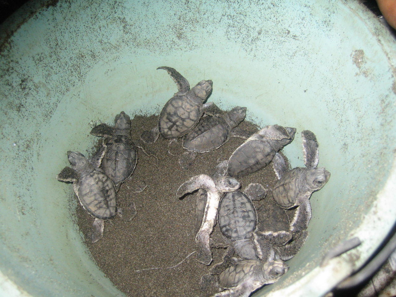sea-turtles-costa-rica-18