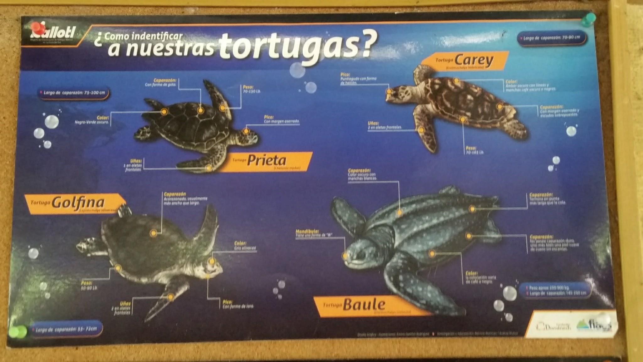guatemala-monterrico-sea-turtle-conservation21