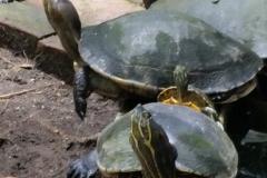 guatemala-monterrico-sea-turtle-conservation34