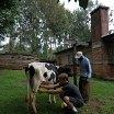 Ben milking a caw