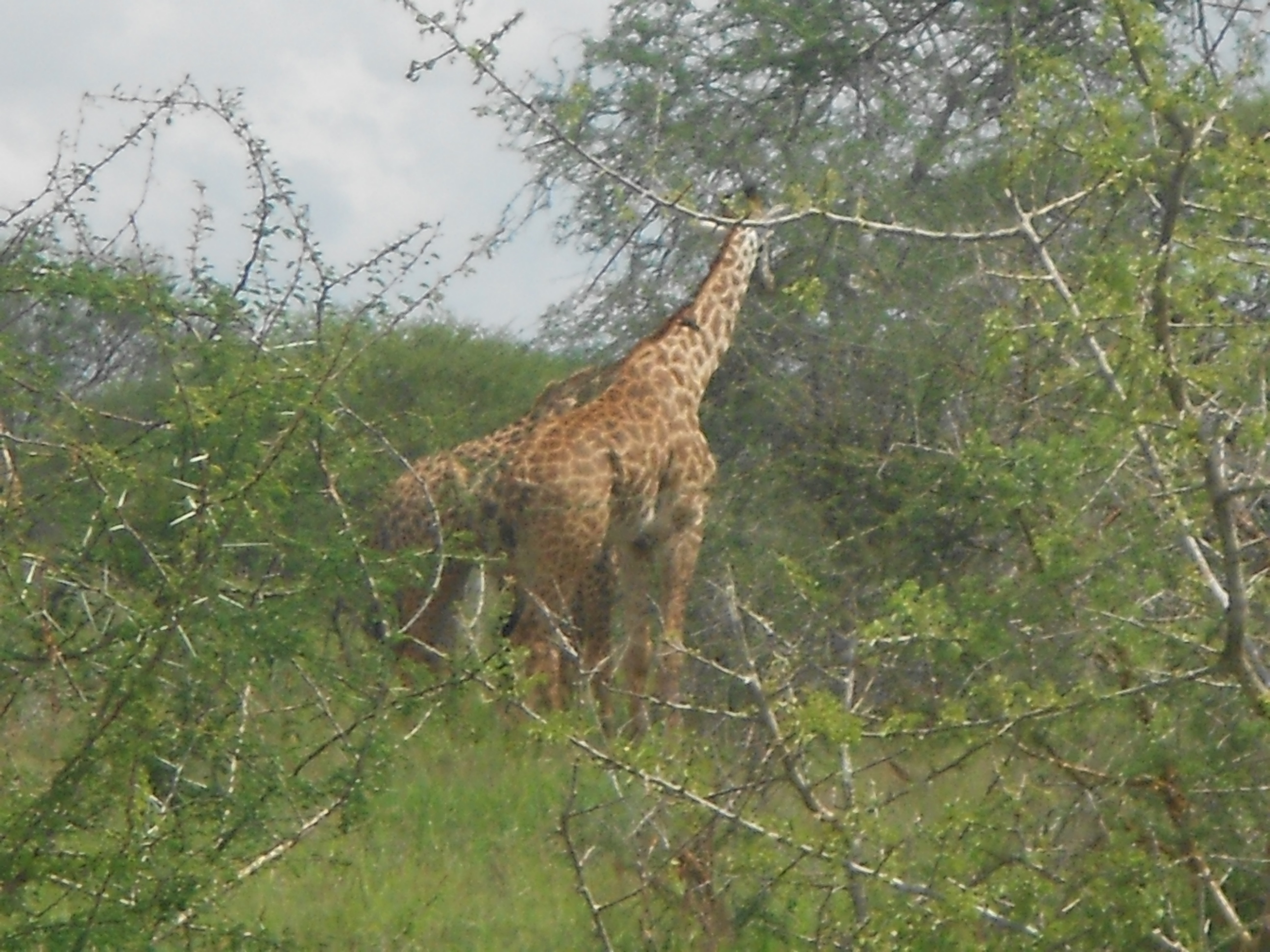 Giraffe in Lumo Wildlife Park in Kenya