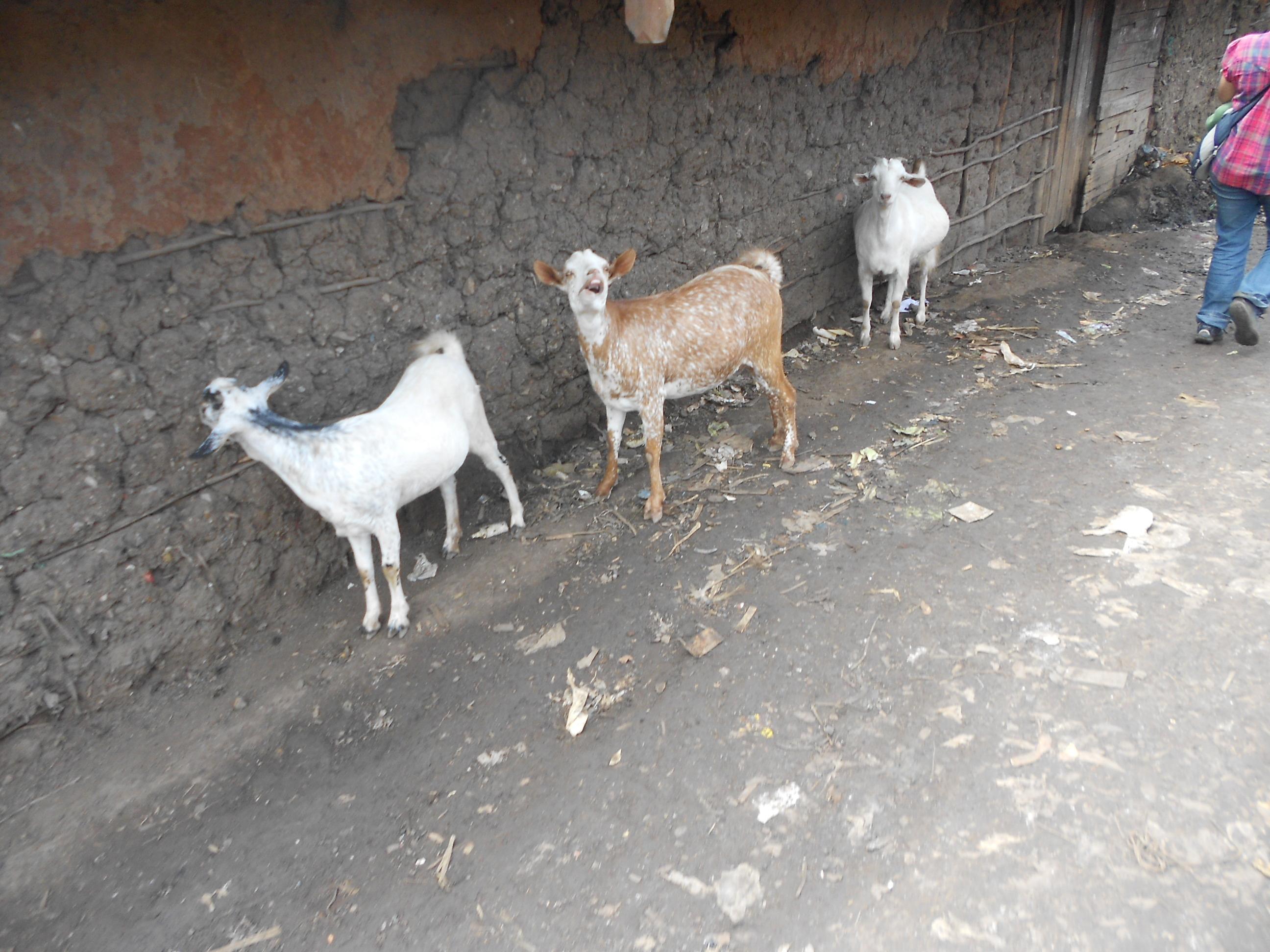 Kibera Nairobi Volunteering Goats